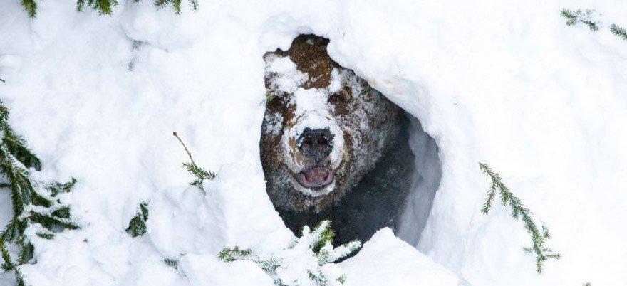 bear winter sleep Next step